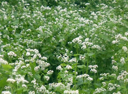 MANCAN BUCKWHEAT 5 Lb Cover Crop - Wild Life and Game Attactant - Bee Pollinator (Best Ground Cover To Choke Out Weeds)