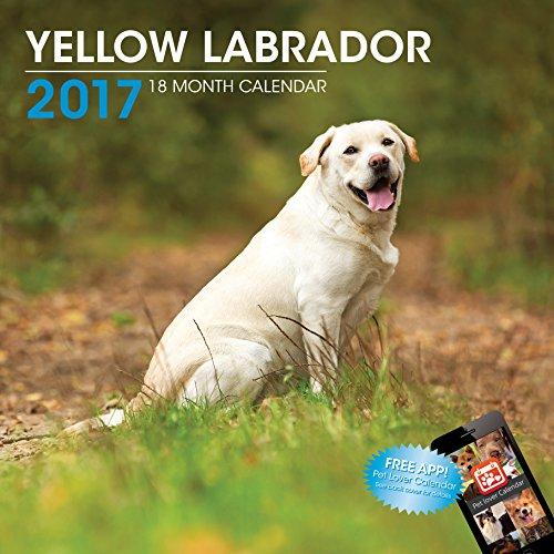 Yellow Labrador - 5