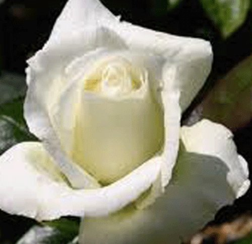 Rosa Bush Rose Hybrid Tea 'SILVER ANNIVERSARY' Plant Imberhorne Lane Nursery