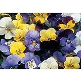 David's Garden Seeds Flower Viola Sorbet Formula Mix (Edible) SL5364 (Multi) 50 Non-GMO, Hybrid Seeds