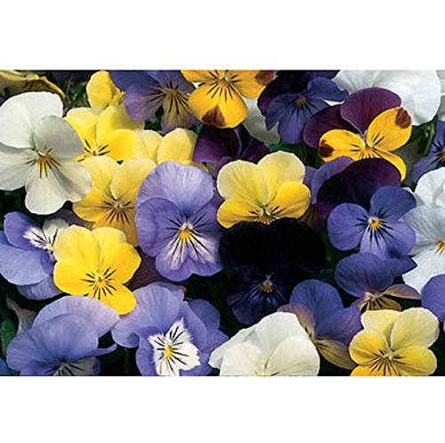 David's Garden Seeds Flower Viola Sorbet Formula Mix (Edible) SL5364 (Multi) 50 Non-GMO, Hybrid Seeds