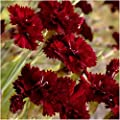 Package of 500 Seeds, King of Blacks Carnation (Dianthus caryophyllus) Non-GMO Seeds By Seed Needs