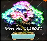 Pinkdose Promotion! 30 Kinds Novel Bonsai Tree Fruit Plant Boston Ivy Osmanthus Coffee Bean Osmanthus Paulownia Pinus Maple Acacia Ginkgo: Acacia-100