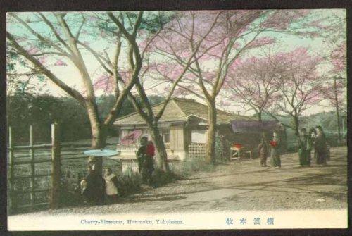 (Cherry Blossom trees Honmoku Yokahama Japan postcard)