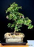 Indoorbonsaiexotics Dwarf Weeping Cherry Beginner Bonsai Tree (Indoors)