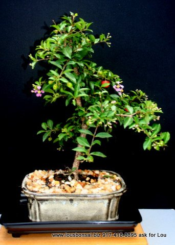 Indoorbonsaiexotics Dwarf Weeping Cherry Beginner Bonsai Tree (Indoors) by indoorbonsaiexotics