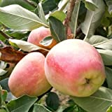 Anna Apple Trees - Branched, Developed Trees - More Branches Means More Apples