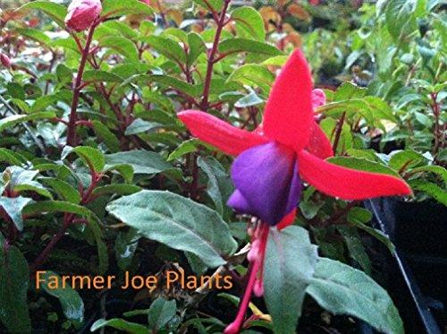 - FUCHSIA - ANGEL EARRINGS CASCADING - 2 PLANTS - 3