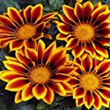 Outsidepride Gazania Kiss Golden Flame - 100 seeds