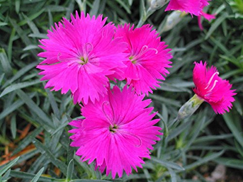 Neon Star Dianthus - Cottage Pinks - Fragrant/Hardy Groundcover - Quart Pot by AchmadAnam ()
