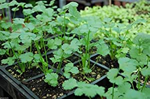 1000 Chinese Parsley Seeds, Leisure Cilantro (Split Seed) Plant Spring To Fall