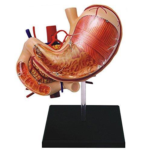 - Famemaster 4D-Vision Human Stomach Anatomy Model
