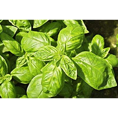 Verazui Organic Sweet Basil Italian Heirloom Classic 150+ Seeds Herb Big leavs Non-GMO : Garden & Outdoor