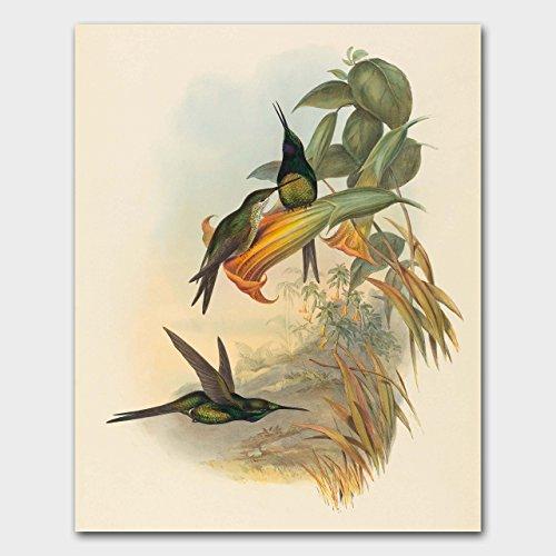 Hummingbird Art Print, Botanical Bird Illustration (Bedroom Wall Decor, John Gould Artwork)