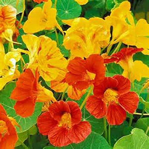 Nasturtium, Dwarf Jewel Mix Nasturtium Flower Seed, Organic, 25 Seeds per Package (Heirloom Garden - Nasturtium Jewel Dwarf