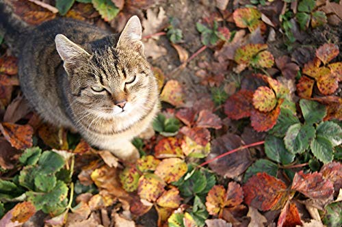 (Home Comforts Framed Art for Your Wall Autumn Cat Foliage Strawberries Cat's Eyes Inmate Vivid Imagery 10 x 13 Frame)