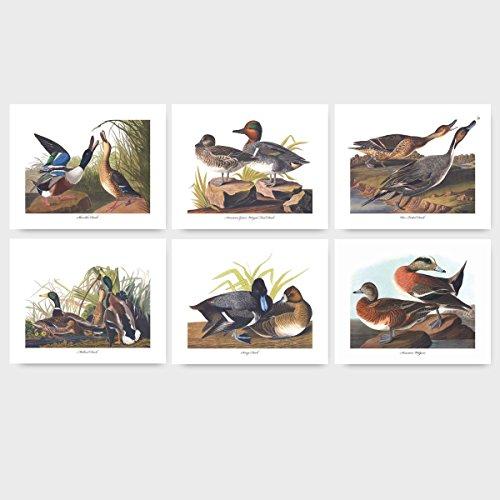 (Set of 6) Duck Prints, Audubon Bird Wall Art (Shoveller Green Winged Teal Pin Tailed Mallard Scaup Wigeon) - Unframed - Wigeon Set