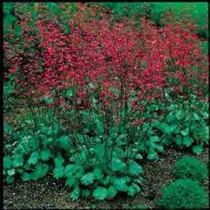 Heuchera Hybrid (Heuchera (Coral Bells) sanguineum Bressingham Hybrids 10,000 seeds)