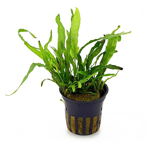 Picture of Java Fern (Microsorum pteropus) - Live Aquarium Plants Freshwater Aquatic Water Plants Decorations BUY2GET1FREE