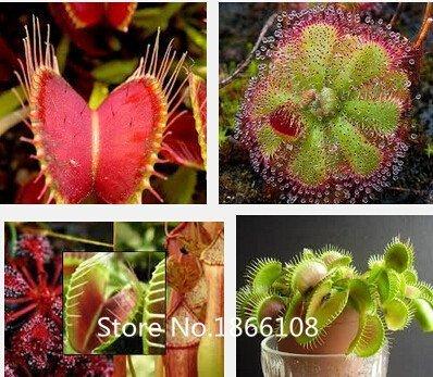 Pitcher Plant Seeds - home & garden 100 Mix Carnivore Carnivorous Pack Species Seeds - Venus Flytrap & Sundews Bulk Seed Pack Verieties Bonsai Flowe