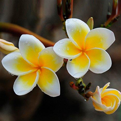 Aiden Gardens Plumeria Plants Flowers Frangipani Hawaiian Lei...