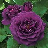 floribunda Rose Bush Seeds - Rare & Beautiful