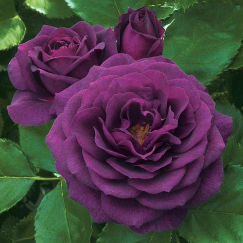 floribunda Rose Bush Seeds - Rare & ()