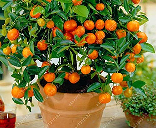- HappyY. Der Bestseller 20 orange seeds dwarf Bonsai Mandarin Orange Seeds Edible Fruit tree for home garden