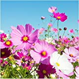 "Package of 400 Seeds, Cosmos ""Sensation Mixture"" (Cosmos bipinnatus) Open Pollinated Seeds By Seed Needs"