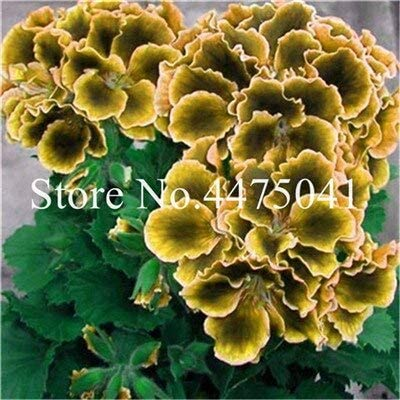 100 Pcs Seeds Geranium Flower Rainbow Bonsai Pelargonium Perennial Hardy Indoor