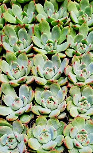 Fat Plants San Diego Mini Rosette Succulent Plants in Growers Pots by Fat Plants San Diego (Image #3)