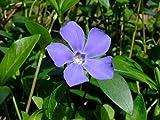 "Myrtle 4 Plants - Periwinkle/Vinca - Hardy Groundcover- 2 1/4"" Pot"