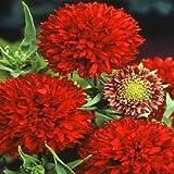 100 gaillardia seeds pulchella Red Plume Garden Starts Nursery