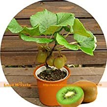 Bonsai KIWI FRUIT TREE Seeds, 1 Professional Pack, 500 Seeds/pack, Non-gmo Edible Kiwi Berry Actinidia Glaucophylla Land Miracle