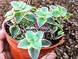 Calico Kitten Crassula Pellucida 'Variegata' Crassula marginalis Succulent Plant