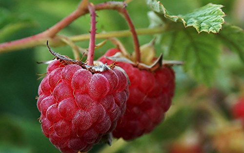 - Fruit Raspberry Plant 20+Seeds/Pack, BlackBerry, Blueberry, Redberry,Yellow Raspberry.Strawberry, Organic Natural Grown - Ready for Spring Planting (Redberry Seeds)