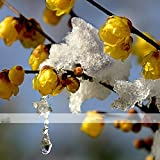 ADB Inc Yellow Fragrant Winterseet Chimonanthus Praecox for Bonsai