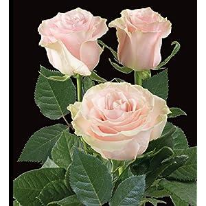 "Fresh Pink Roses | 50 cm. long (20"") 50/100/200 (50) 57"