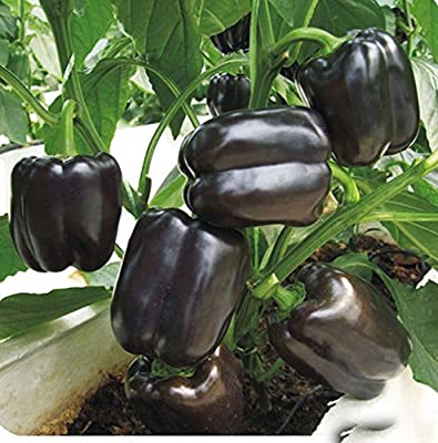 Professional Pack 200 Pcs Black Sweet Pepper Seeds, Balcony Potted, Organic Vegetable Seeds, Chili Pepper Seeds, Potted Plant