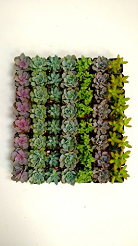 Shop Succulents| Premium Pastel Collection of LiveSucculent Plants, Hand Selected Variety Pack of Mini Succulents | Collection of 20 in 2'' pots by Shop Succulents (Image #2)