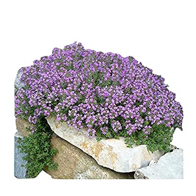 20, 000 Creeping Thyme Seeds - Wonderful Gound Cover : Garden & Outdoor