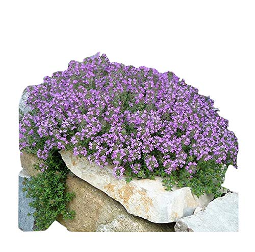 Marde Ross & Company 8000+ Creeping Thyme Seeds - Perennial Herb for Landscaping ()