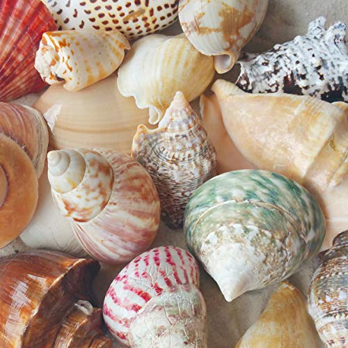 """(Tumbler Home Polished Sea Shells – Sizes 2.25"""" to 4"""" - Approx. 15 Beach Shells in Mixed Colors – 1.75 Lb Nautical Beach)"""