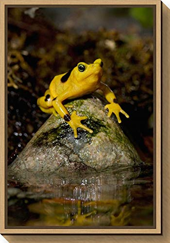 Framed Canvas Wall Art Print Panamanian Golden Frog Native to Panama by San Diego Zoo 16.00 x 23.25 (Panamanian Golden Frog)