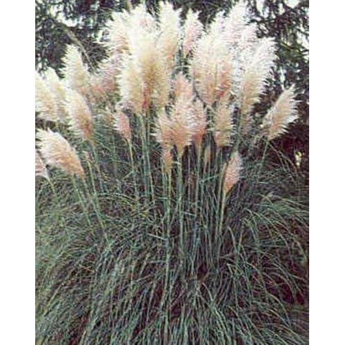 Top Cortaderia Pampas Grass Selloana Pampas White Seeds for cheap
