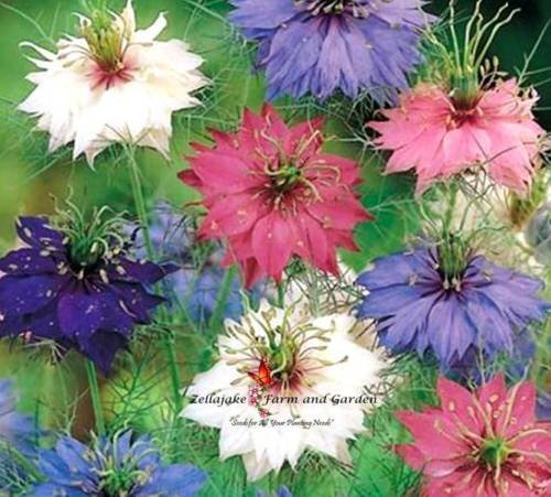 Love in a Mist Mix Seeds 200 Seeds Color Blue Pink White (Love Mist)