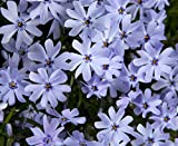 Early Spring Blue Creeping Phlox Perennial - Quart Pot