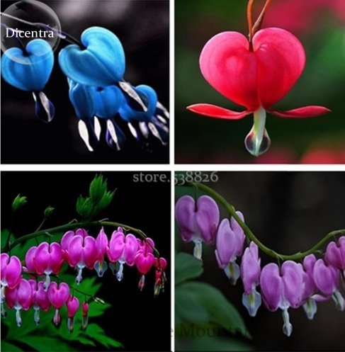 New Lamprocapnos spectabilis Mixed Bleeding Heart Perennial Herbs Flower, 5 ''Seed, Exotic Blooms Ornament Plant