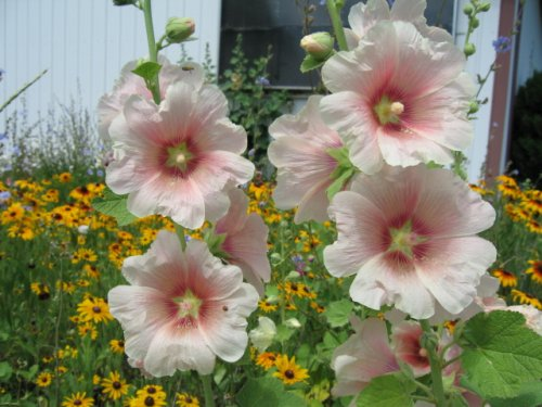 Indian Spring Hollyhock Seed. 100 Hollyhock Seeds in Each Packet Love Blooms Seed Packets