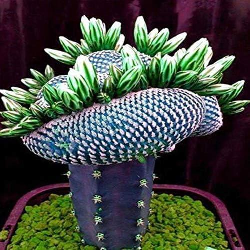 Dovlen 1 Bolsa Super Raro Africano Semillas Cactus Suculento Planta Árbol Purificador Aire Bonsái Decoración: Amazon ...